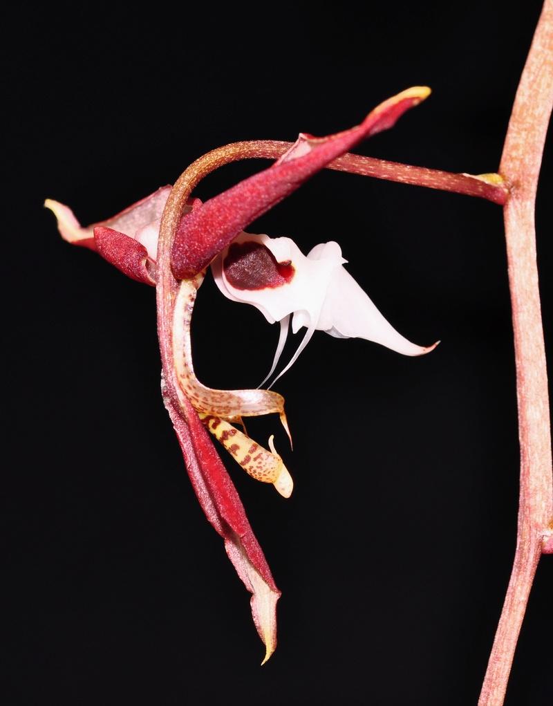 Gongora chocoensis 2 2017-149