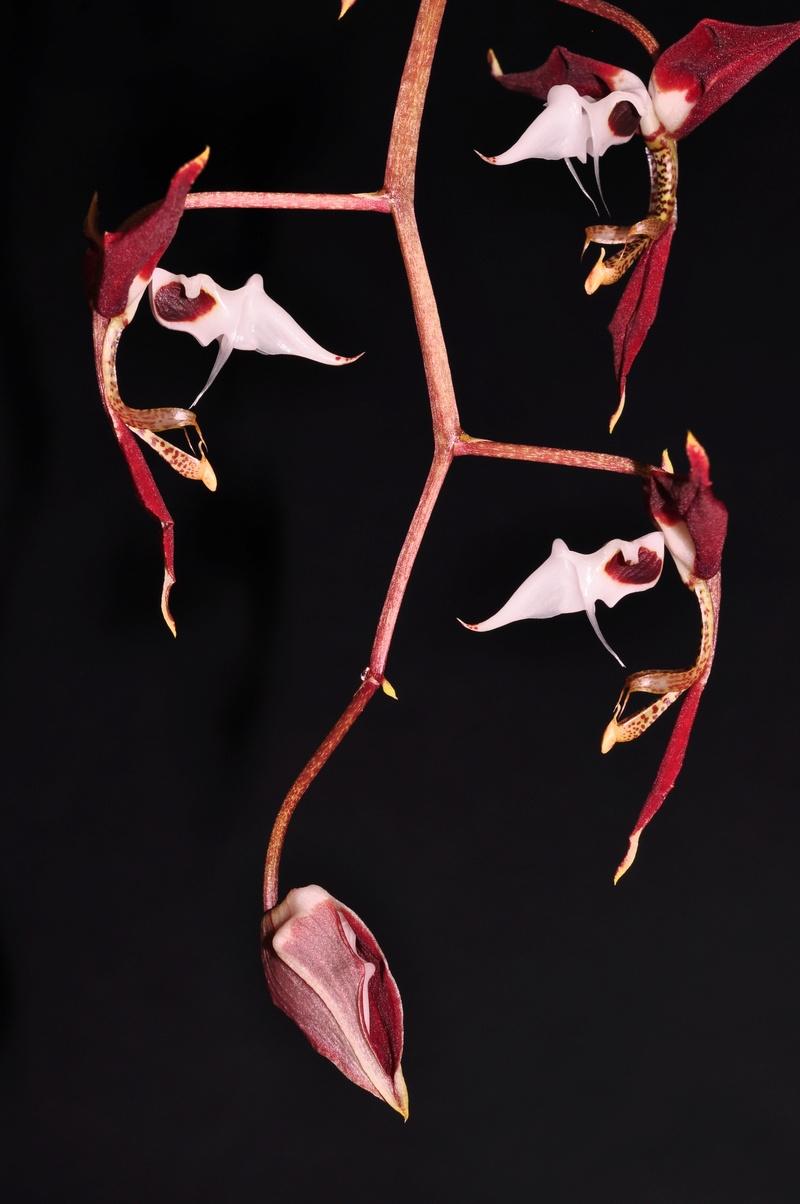 Gongora chocoensis 2 2017-151