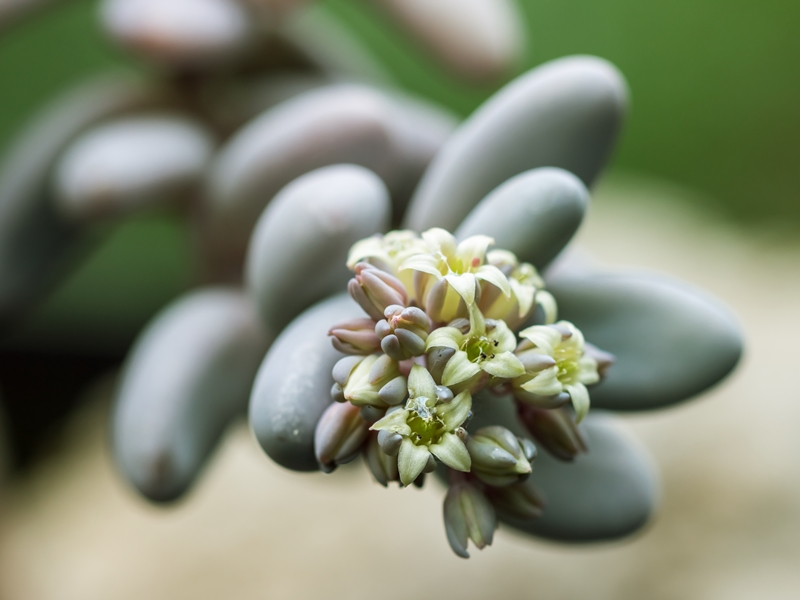 Graptopetalum craigii Grapto11