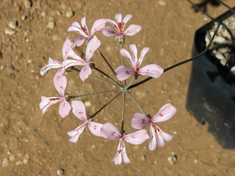 Pelargonium nephrophyllum Img_0310
