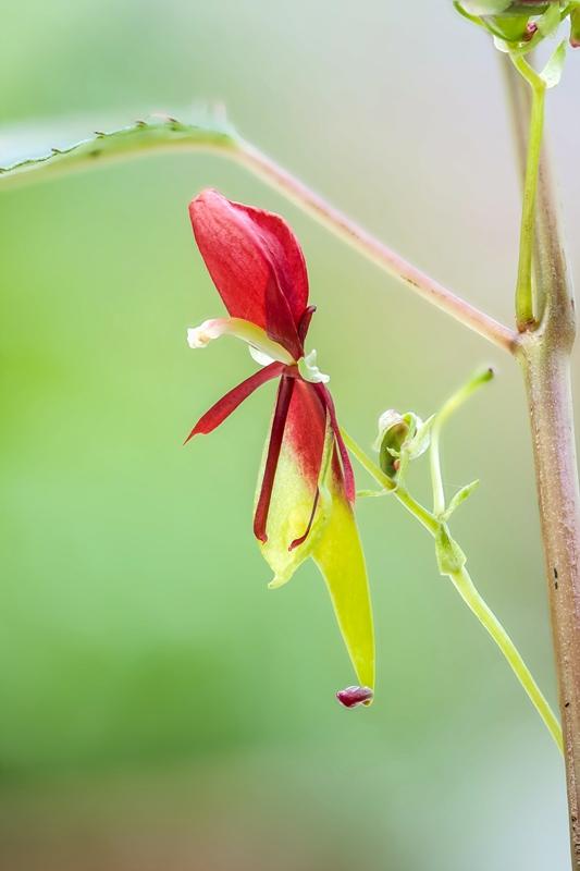 Gattung Impatiens  - Familie Balsaminaceae - Seite 2 Impati11