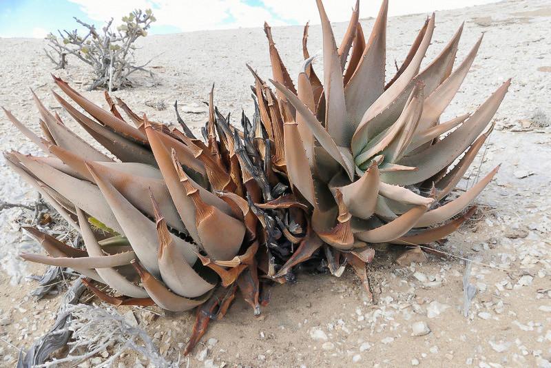 Aloe asperiflora P1140910