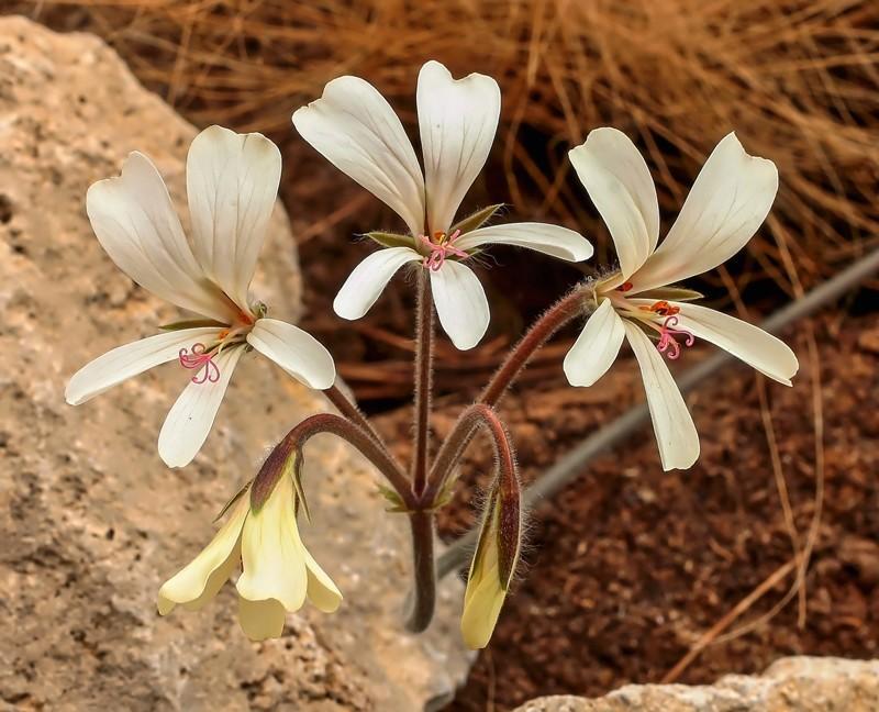 Pelargonium barklyi Pelarg12