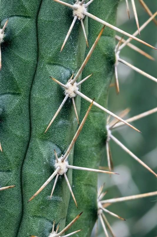 Rauhocereus riosaniensis Rauhoc10