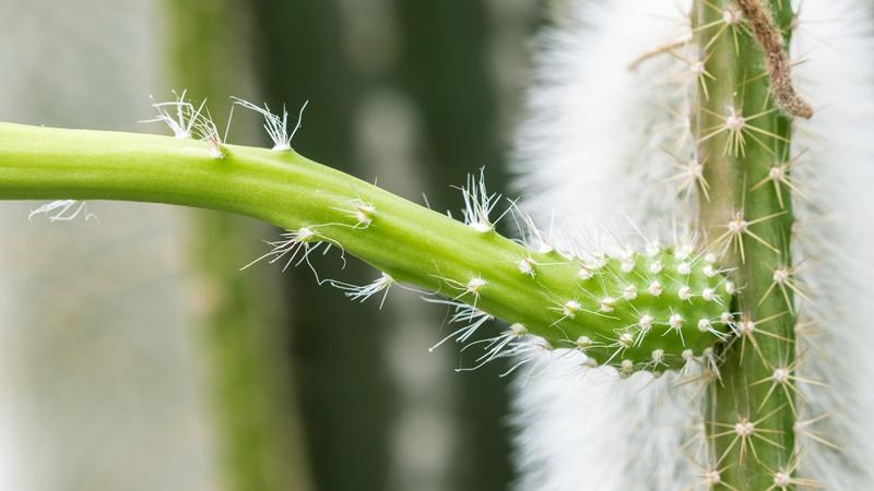 Selenicereus vagans Seleni12