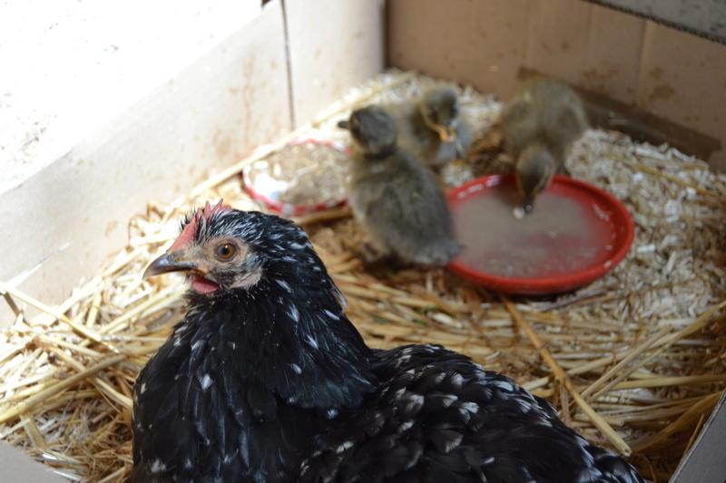Canetons élevés par une poule Dsc_0125