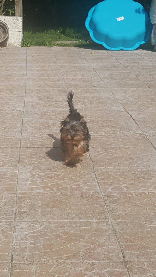 "Oréo Mon petit "" Microbe^^"" ( Yorkshire Terrier ) 34348710"