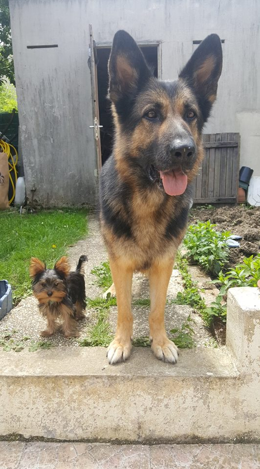 "OREO Ma "" petite souris "" lol ( Yorkshire Terrier) :) 34585811"