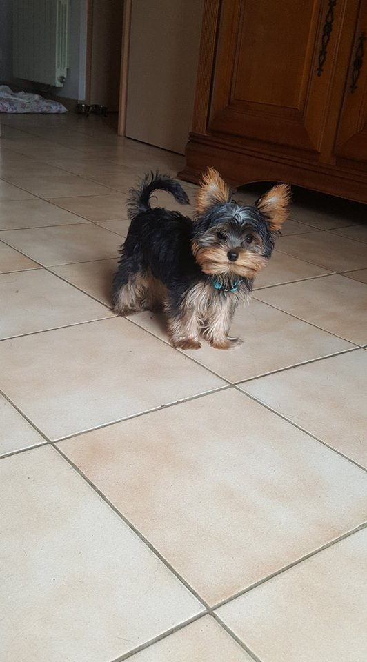 "OREO Ma "" petite souris "" lol ( Yorkshire Terrier) :) - Page 5 34587910"