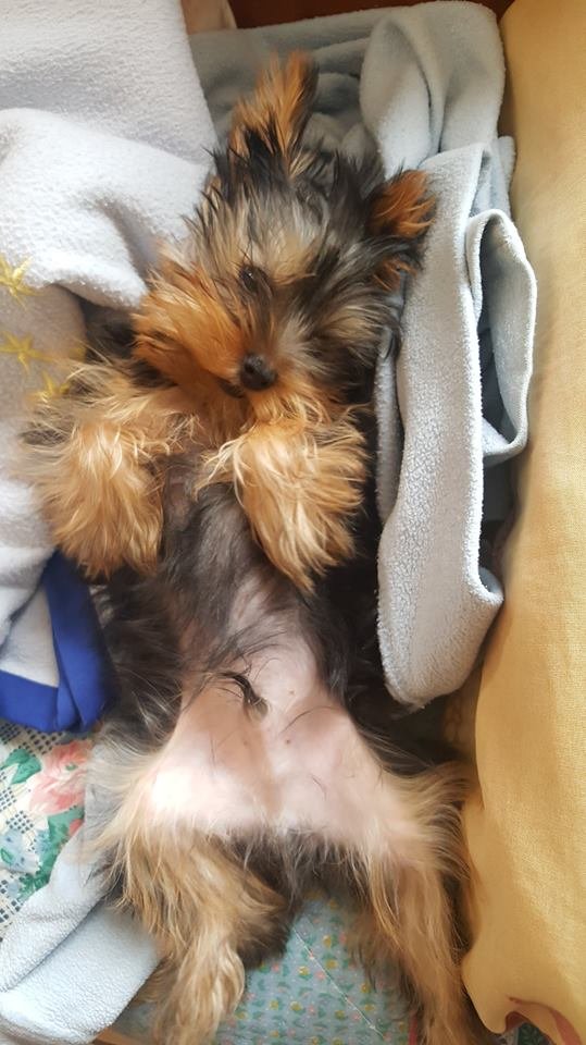 "OREO Ma "" petite souris "" lol ( Yorkshire Terrier) :) - Page 5 34640511"
