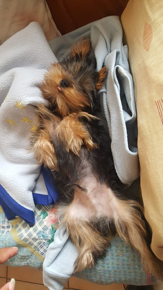 "OREO Ma "" petite souris "" lol ( Yorkshire Terrier) :) - Page 5 34659911"