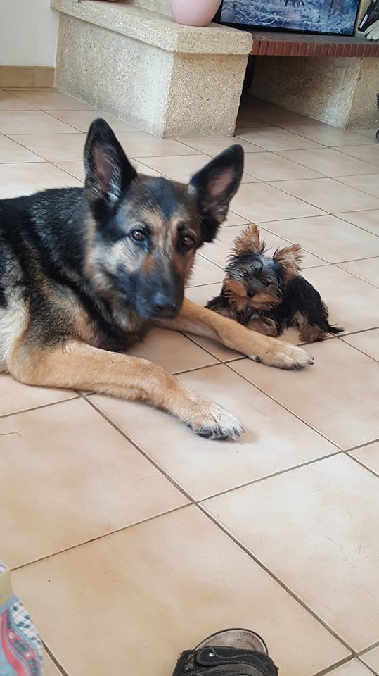 "Oréo Mon petit "" Microbe^^"" ( Yorkshire Terrier ) 34675010"
