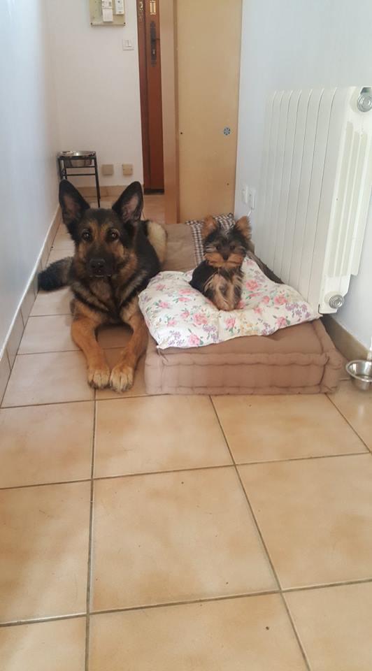 "OREO Ma "" petite souris "" lol ( Yorkshire Terrier) :) 34688610"
