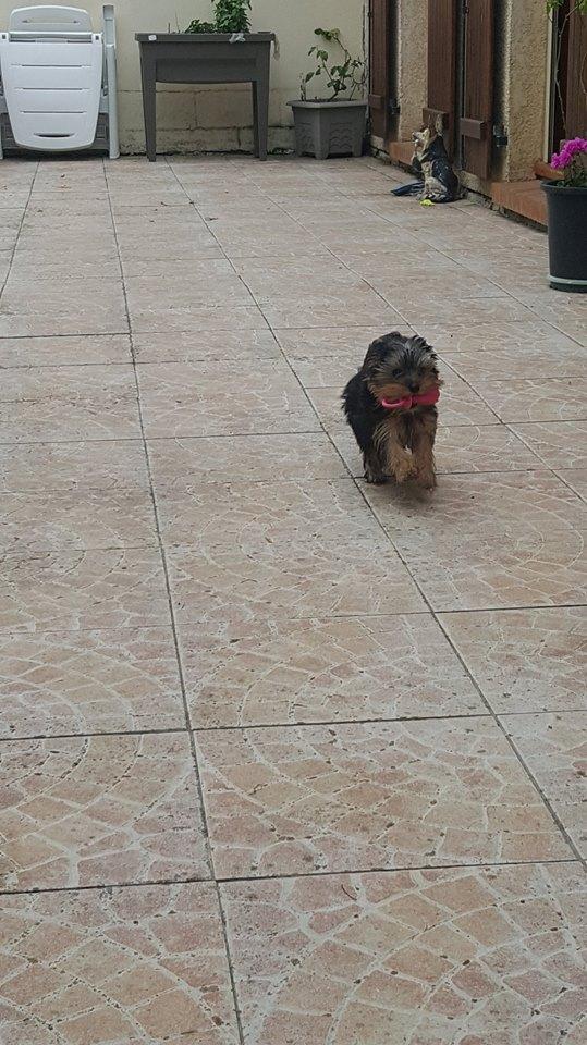 "OREO Ma "" petite souris "" lol ( Yorkshire Terrier) :) 34777510"