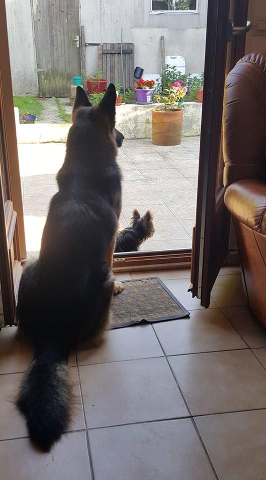 "OREO Ma "" petite souris "" lol ( Yorkshire Terrier) :) 34848910"