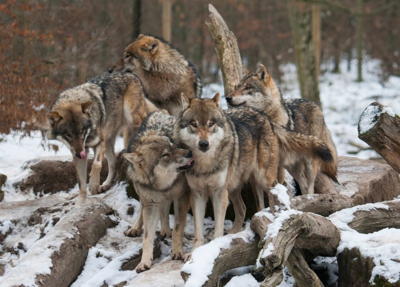 La Passion d'une race :) Loups-10