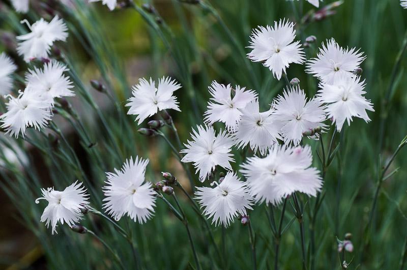 fleuri en ce moment Dianth10