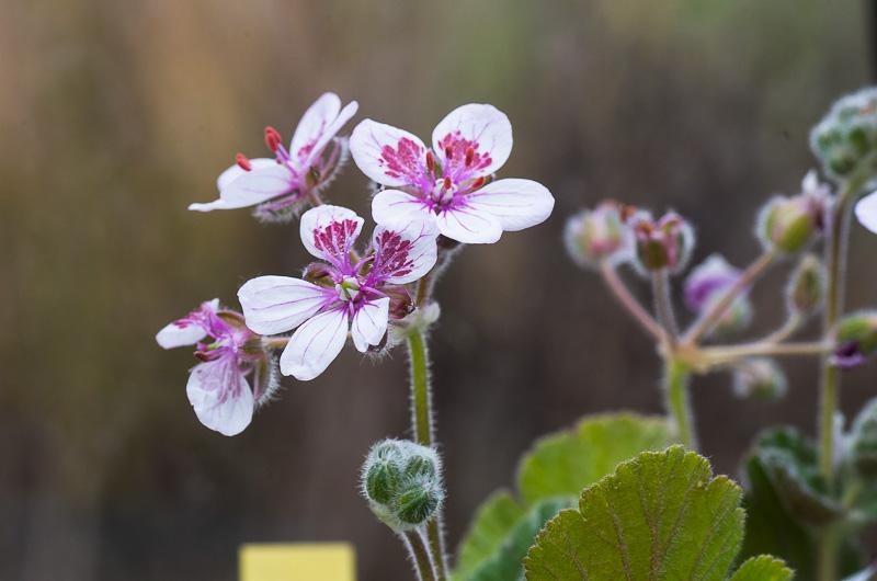 fleuri en ce moment Erodiu10