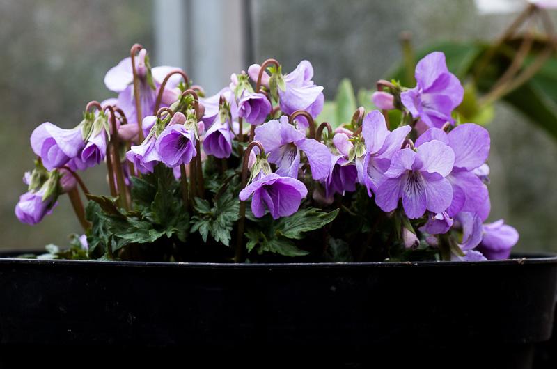 fleuri en ce moment Viola_14