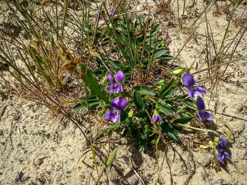 viola,violette Viola_18