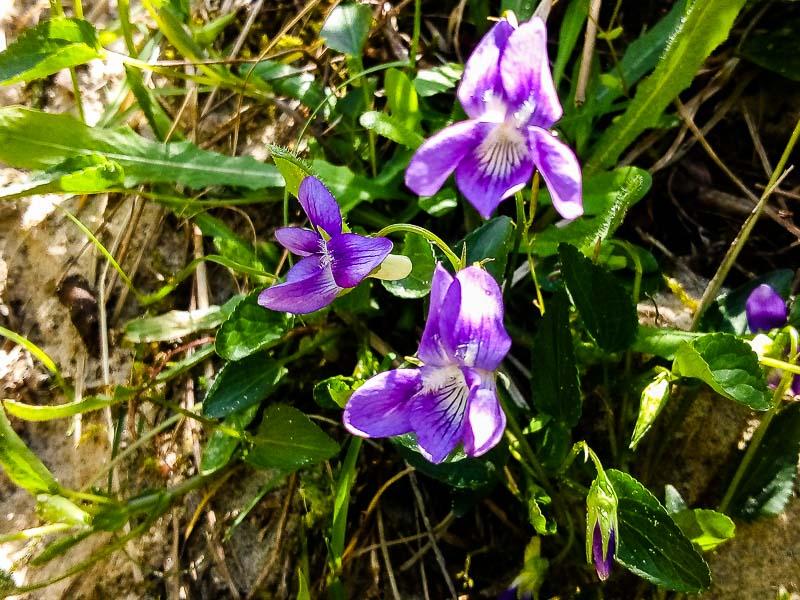 viola,violette Viola_19