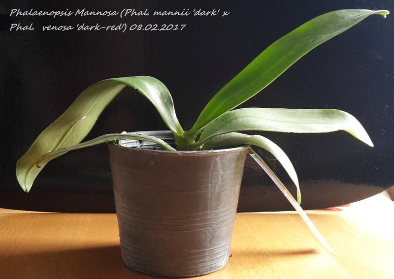 Phalaenopsis mannii x venosa (Mannosa) 20170210