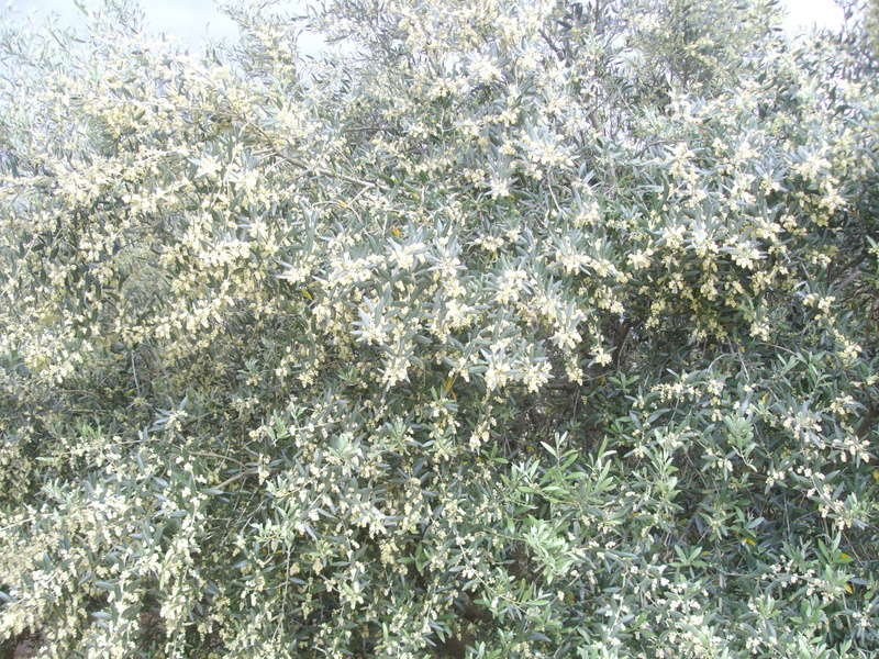 Les oliviers de Elie henry. Imgp2027