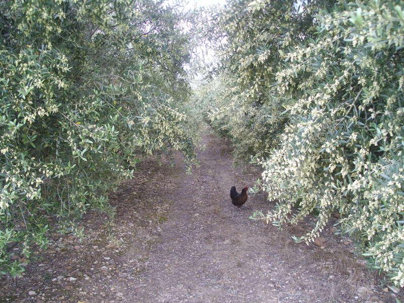 Les oliviers de Elie henry. Imgp2029