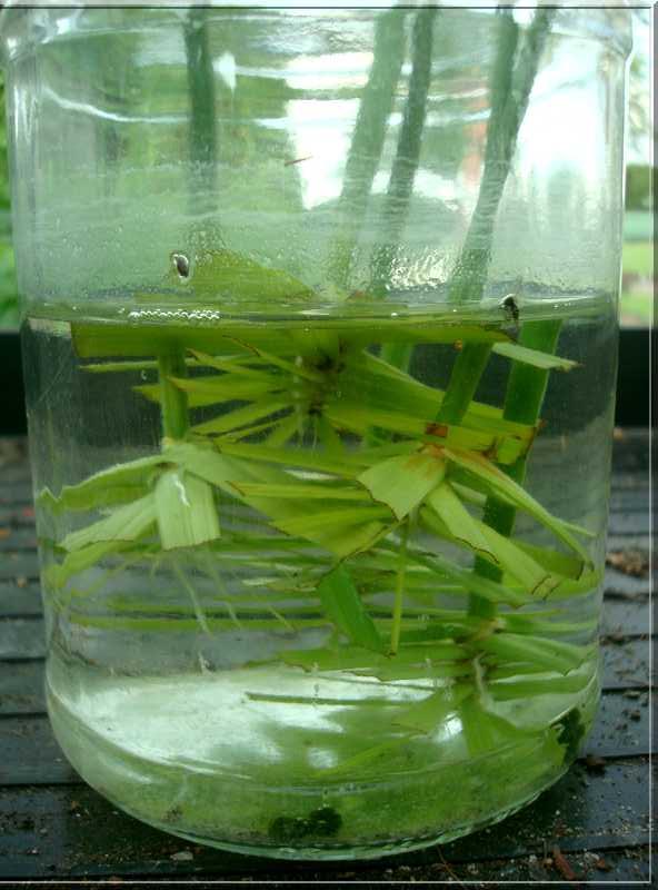 Une plante qui aime l'eau  15_05_11