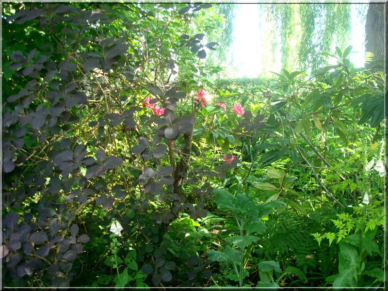 "Le ""Jardin d'Eau"" second jardin de Claude Monet 6510"