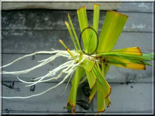 Une plante qui aime l'eau  Boutur10