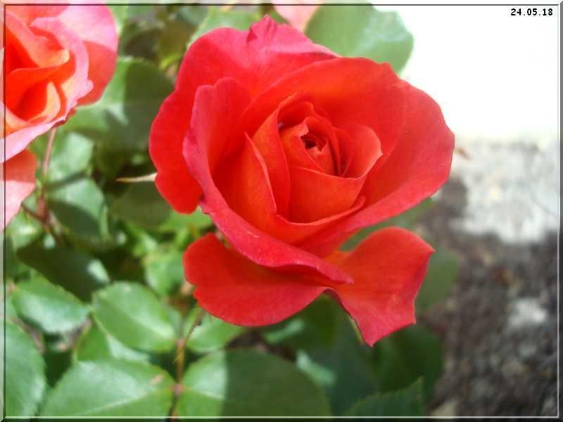 Les rosiers Dsc01315