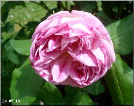 Les rosiers Dsc01318