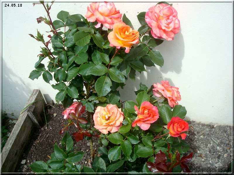 Les rosiers Dsc01322