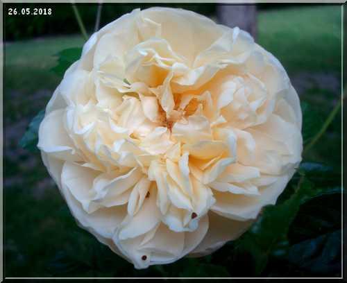 Les rosiers Dsc01337