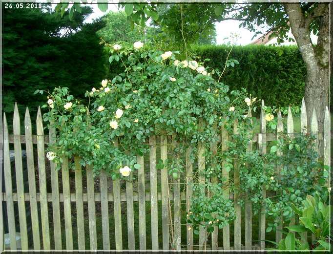 Les rosiers Dsc01338