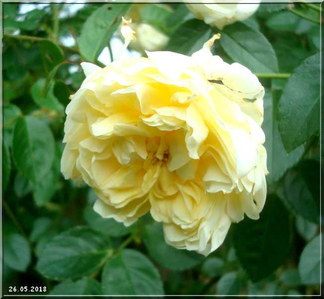 Les rosiers Dsc01339