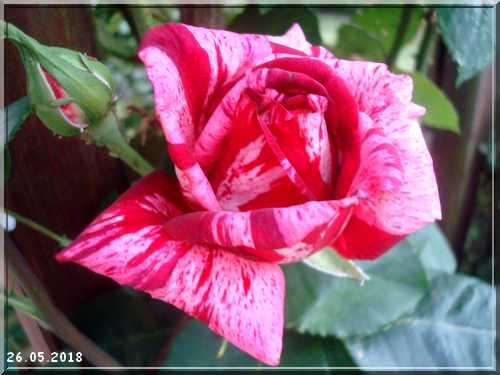 Les rosiers Dsc01340