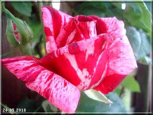 Les rosiers Dsc01341