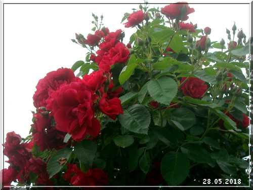 Les rosiers Dsc01433