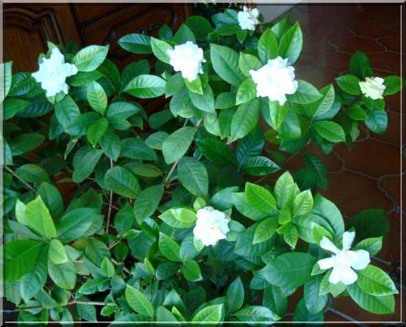 Une plante fleurie pas compliquée Fleuri10