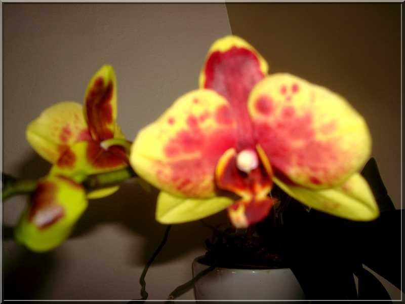 Couleur... orchidées !  Orchid14