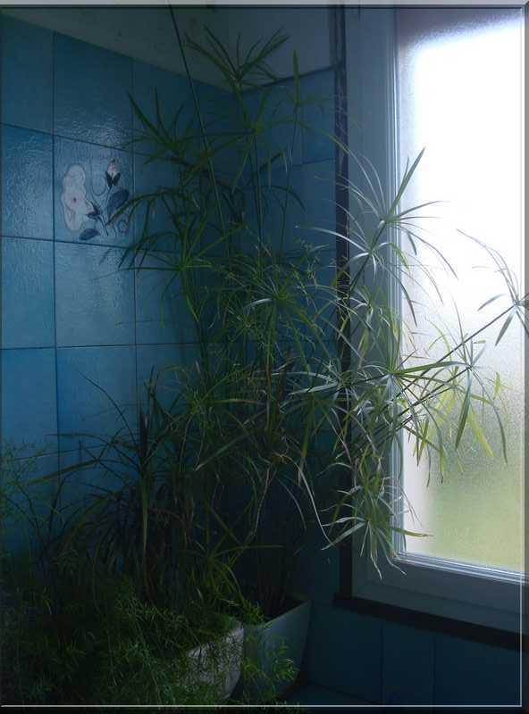 Une plante qui aime l'eau  Papyru10