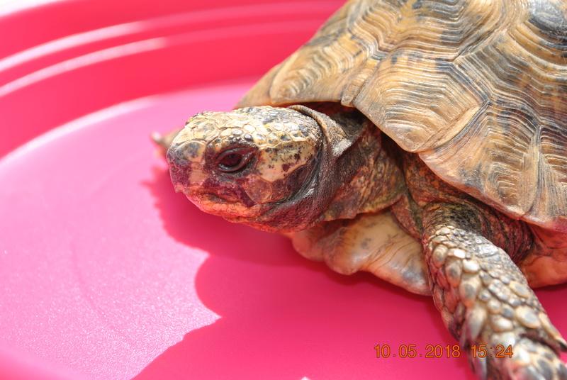 quel type de tortue est ce ? Dsc_0811