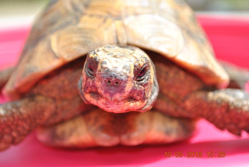 quel type de tortue est ce ? Dsc_0812