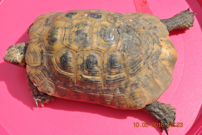quel type de tortue est ce ? Dsc_0813