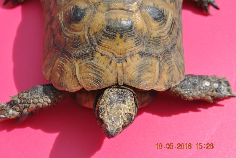 quel type de tortue est ce ? Dsc_0814