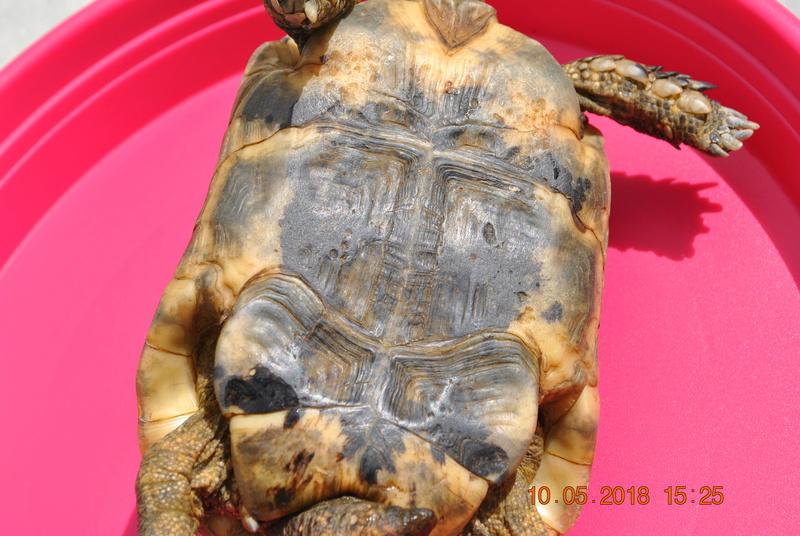 quel type de tortue est ce ? Dsc_0816