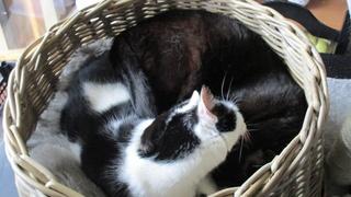 Gladys, jolie chatte noire, Aidofélins Maisons-Laffitte (78) - Page 2 Edgi_g10