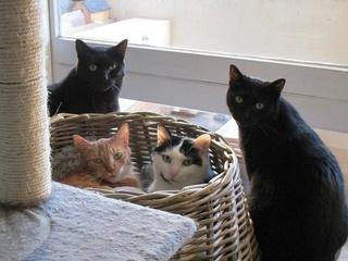 Gladys, jolie chatte noire, Aidofélins Maisons-Laffitte (78) - Page 2 Gary_g11